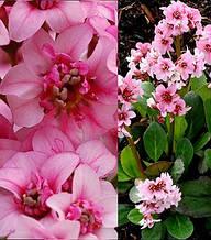 "Бадан ""Dragonfly"" Sakura"""