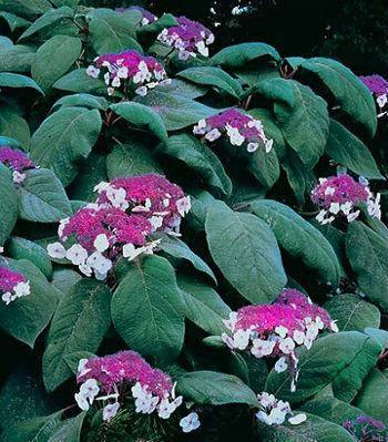 "Гортензія шершава ""Macrophylla"""