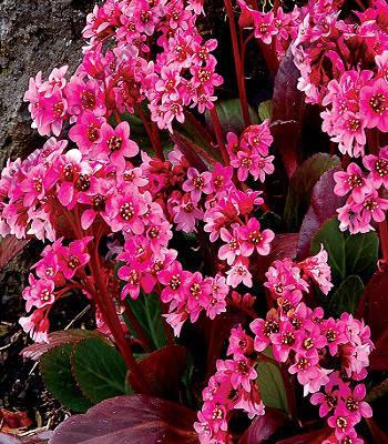 """Бадан """"Pink Dragonfly"""""""