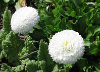 Маргаритка махровая Снежный шар 0,1 г