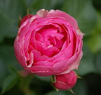 Роза Pomponella (Помпонела), корень ОКС