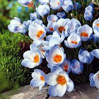 Крокус Ботанический Blue Pearl 5 луковиц