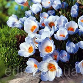 Крокус Ботанический Blue Pearl (Блю Перл) 5 луковиц, фото 2