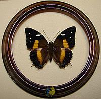 Сувенир - Бабочка в рамке Baeotus deucalion. Оригинальный и неповторимый подарок!
