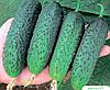 Семена огурца Артист F1 250 семян Bejo
