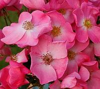 Роза Fortuna (Фортуна), корень ОКС