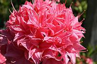 Рододендрон листопадный Хомебуш (Homebush)