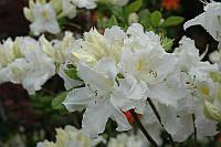 Рододендрон листопадный Оксидол (Oxydol)