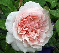Роза Eifelzauber (Магия Эйфеля), корень ОКС