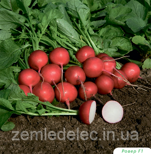 Семена редиса Ровер F1 50000 семян (2,50-2,75 мм) Bejo