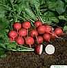 Семена редиса Ровер F1 5000 семян (2,75-3,00 мм) Bejo