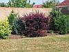 Барбарис оттавский Superba h150, фото 2