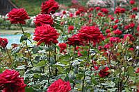 Розы оптом / Разные сорта / С цветами