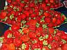 """Клубника """"ВИКТОРИЯ"""" / Премиум Качество / Саженцы (ЗАКАНЧИВАЕТСЯ), фото 4"""