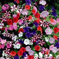 Петунія Гігантська суміш квітів, 0.015 г, ТМ Яскрава