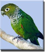 В продаже молодой говорящий конголезский попугай