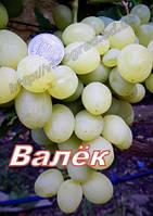 Саженцы винограда раннего срока созревания сорта Валёк