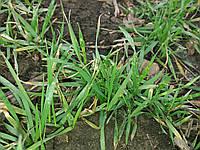 Внесение удобрений под озимую пшеницу Супер Азот. Обработка Стимулятором Роста для озимой пшеницы.