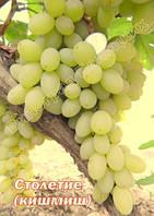 Саженцы винограда средне-раннего срока созревания сорта кишмиш Столетие(США)