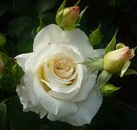 Роза спрей White Lydia (Белая Лидия), корень ОКС