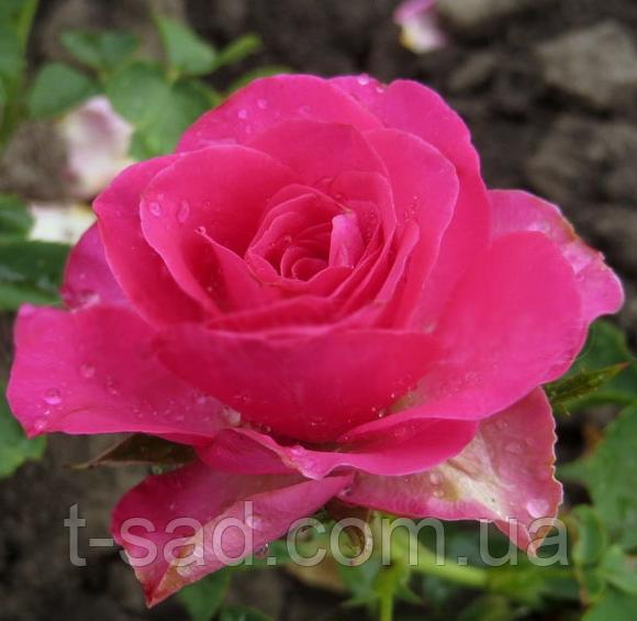 Роза спрей Lovely Lydia (Прекрасна Лідія), корінь ОКС