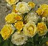 Роза спрей Sunrise (Восход солнца), корень ОКС