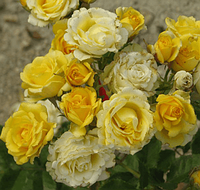 Роза-спрей Sunrise (Восход солнца), корень ОКС