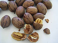 Орех пекан на посадку сорт Грозона (GraZona) - круглый плотный(упаковка 40 штук)