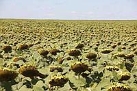 Семена подсолнечника Неома, фото 1