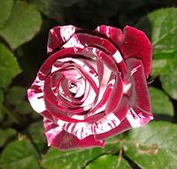 Роза спрей Flash Night (Ночная вспышка), корень ОКС
