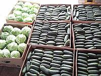 Семена огурца Ленара (Lenara RZ) F1 1000 семян