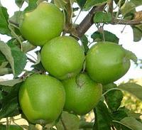 Саженцы яблони сорт Гренни Смит