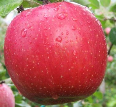 Саженцы яблони сорт Фуджи Кику 8
