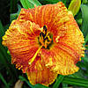 "ЛІЛІЙНИК HEMEROCALLIS ""SPACECOAST FREAKY TIKI"" КОНТЕЙНЕР С2"