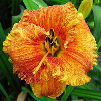 "ЛІЛІЙНИК HEMEROCALLIS ""SPACECOAST FREAKY TIKI"" КОНТЕЙНЕР С2, фото 1"