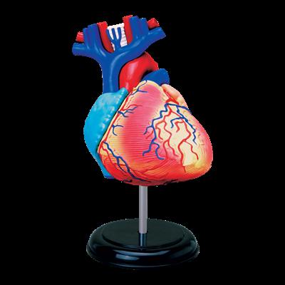 Объемная анатомическая модель Сердце человека - IQ CITY в Запорожье