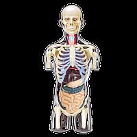 Объемная анатомическая модель Торс человека