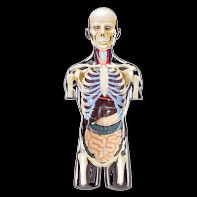 Объемная анатомическая модель Торс человека - IQ CITY в Запорожье