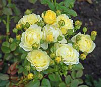 """Саженцы роз """"Голден Бордер"""", фото 1"""