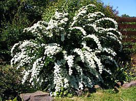 Саджанці спіреї білої Аrguta (Аргута)