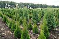 "Туя западная ""Смарагд"" (Thuja occidentalis Smaragd) 0,9м - 1м"