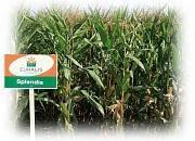 Семена кукурузы ЕС Сплендис ФАО 220, 140 ц/га,  Евралис Семанс  / Украина