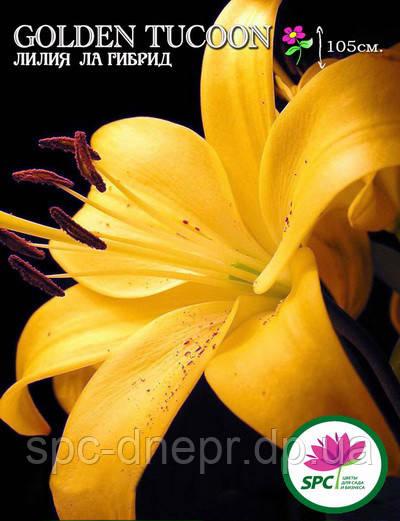 Лилия ла гибрид Golden Tucoon