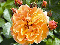 "Саженцы роз ""Клементина"", фото 1"