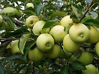 Саженцы яблони сорта Голден Делишес Рейнджерс