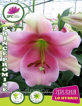 Лилия ло гибрид Prince Promise, фото 2