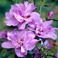 Саджанці гібіскусу садового махрового Ardens (Арденс), фото 1