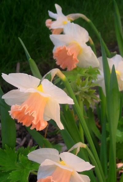 Нарцисс корончатый Rosy sunrise, 2 луковицы