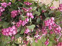 Саджанці сніжноягідника рожевого, фото 1