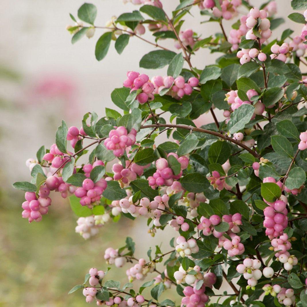 Саджанці сніжноягідника рожевого